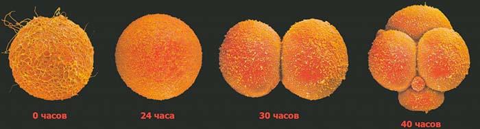 Деление оплодотворенной яйцеклетки
