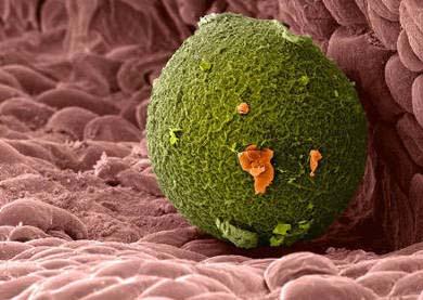 яйцеклетка в маточной трубе